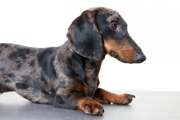 Perro dachshund raza masculina, negro y fuego