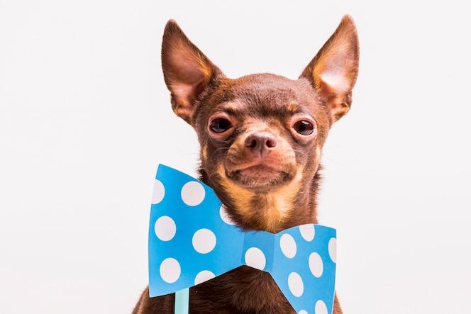 Perro de juguete ruso con azul bowtie prop cerca del cuello