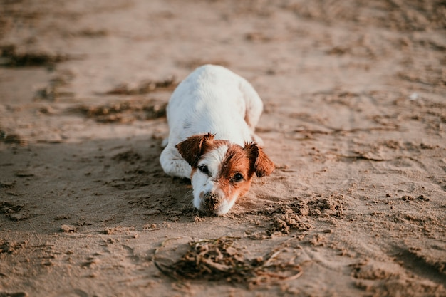 Perro divertido de jack russell que se acuesta en la playa.