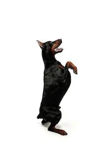 Perro doberman aislado en blanco en estudio.