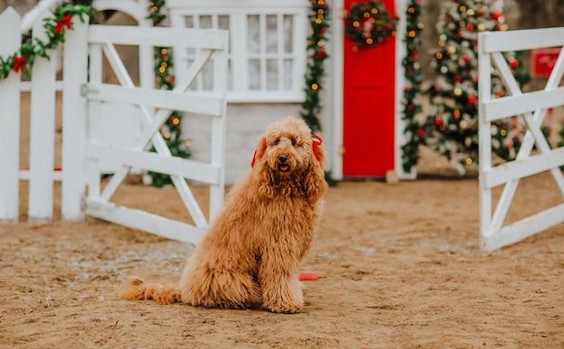 Perro de doos doodle de oro joven sentado contra la casa de navidad con valla blanca. copie el espacio. concepto de vacaciones