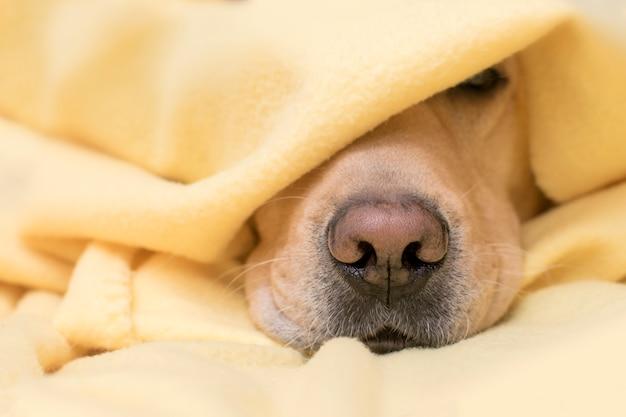 El perro duerme debajo de una tela escocesa amarilla. nariz de cerca. concepto de confort, calidez, otoño, invierno.