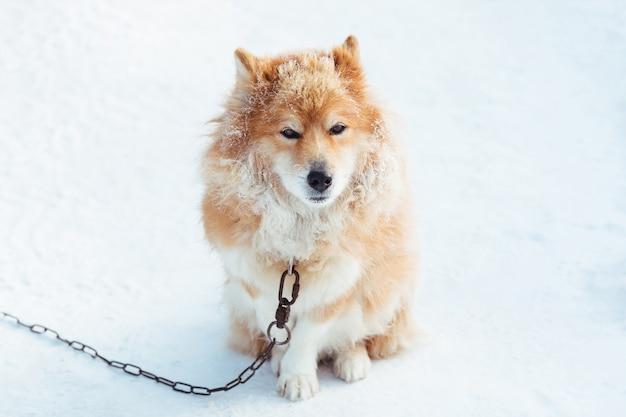 Perro encadenado rojo esponjoso al aire libre en invierno en la nieve mirando
