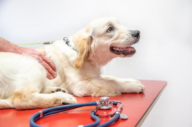 Perro en examen en clínica veterinaria. retvier de oro