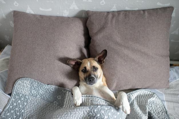 Perro feliz que miente encendido detrás en cama debajo de la manta.