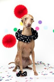 Perro galgo italiano celebrando una fiesta