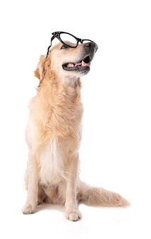 Perro golden retriever con gafas aislado