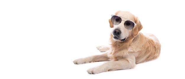 Perro golden retriever en gafas de sol descansando aislado sobre fondo blanco.