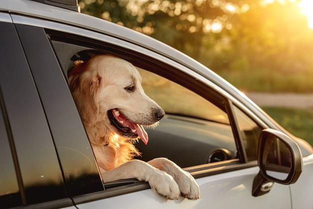 Perro golden retriever mirando en la ventana del coche abierta durante el viaje sentado en el asiento delantero