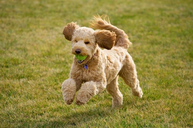 Perro goldendoodle jugando con pelota de tenis