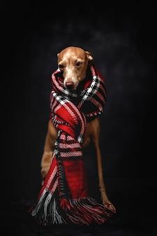 Perro gracioso con bufanda a cuadros rojos