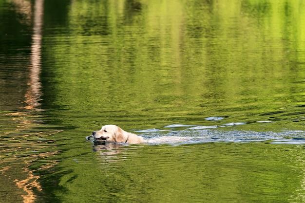 Perro gracioso labrador flota en el lago con un palo.
