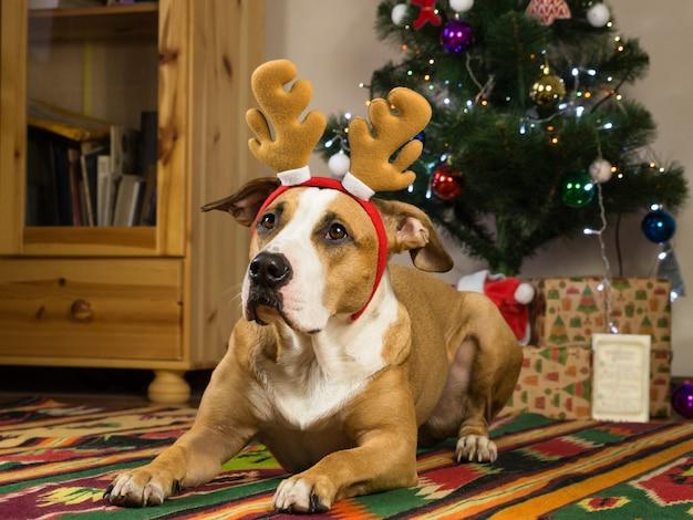 Perro gracioso con orejas grandes en la acogedora sala de estar frente al árbol de pieles y regalos de año nuevo