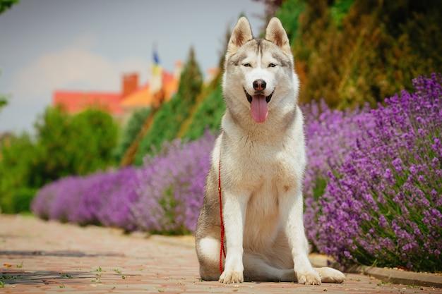 Perro gris sentado en el sendero. floración lavanda en el fondo. retrato de un husky siberiano.