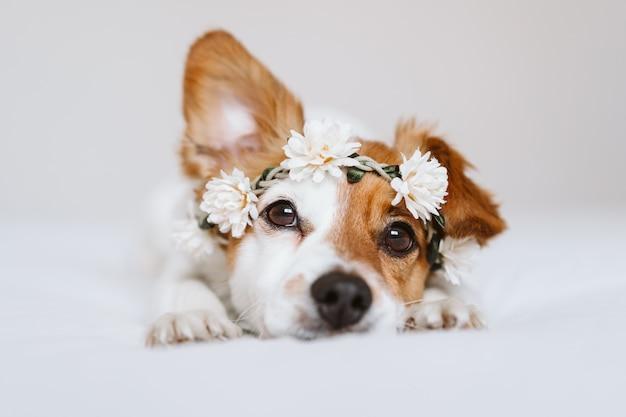 Perro hermoso de jack russell en casa que lleva una corona de flores blanca. concepto de primavera y estilo de vida