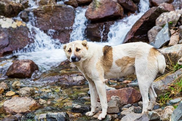 Perro sin hogar bebe agua en el río