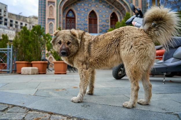 Perro sin hogar en la calle del viejo tbilisi.