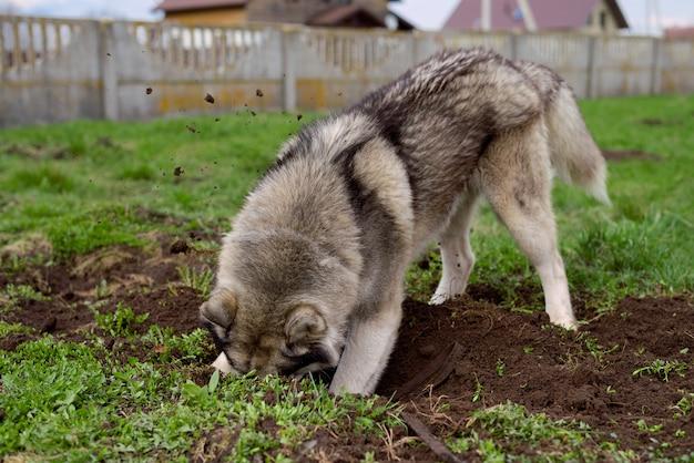 El perro husky cava un agujero en el suelo
