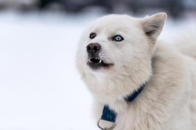 Perro husky en invierno