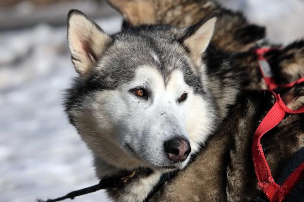 Perro husky en la montaña alpina en invierno
