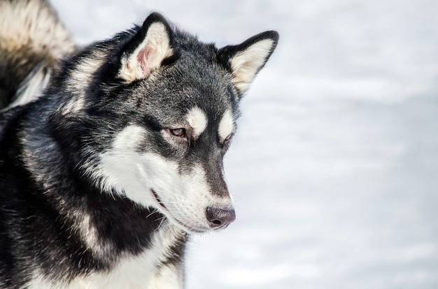 Perro husky siberiano mira a su alrededor. perro husky
