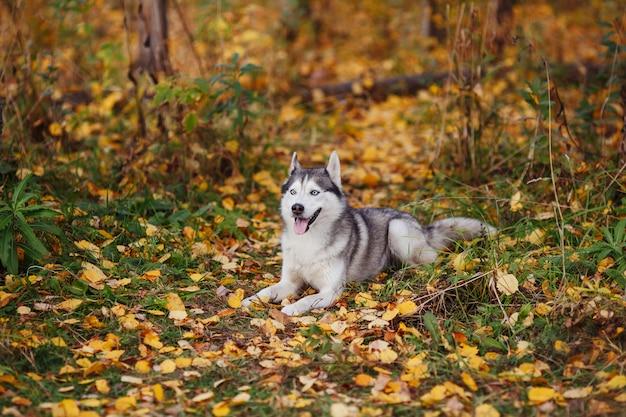 Perro husky siberiano con ojos azules en bosque otoñal