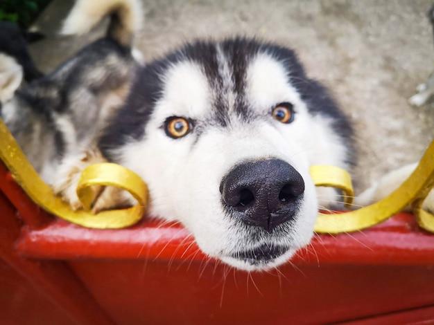 Perro husky siberiano en valla / perro triste animal mascota