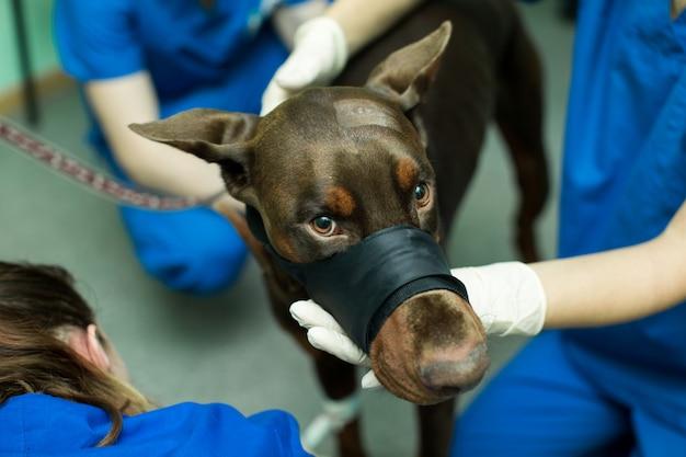 Perro de inspección veterinaria doberman