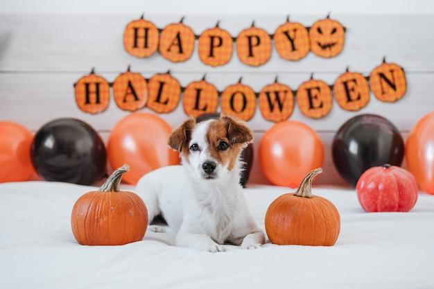 Perro jack russell en casa con adornos de halloween