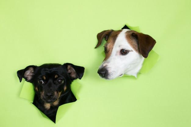 Perro jack russell y un pequeño perro negro sobre un fondo verde. los bozales de dos perros emergen de la madriguera sobre un fondo de color.