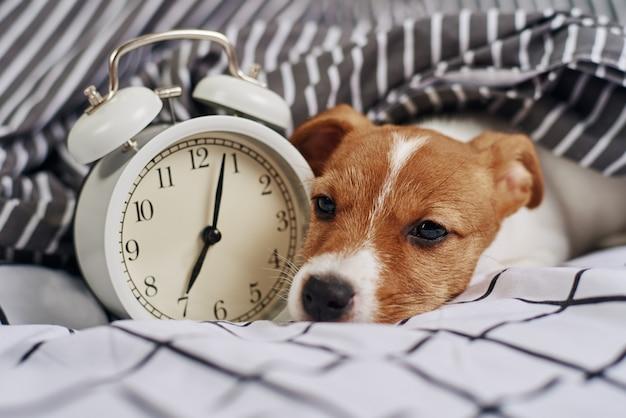 Perro jack russell terrier duerme en la cama con despertador vintage. concepto de despertador y mañana