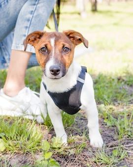 Perro jack russell terrier joven afuera en un día soleado de primavera o verano.