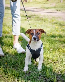 Perro jack russell terrier joven afuera en un día soleado de verano.