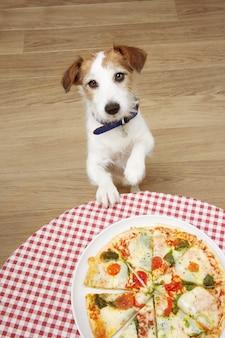 Perro jackrussell pidiendo pizza con patas sobre la mesa
