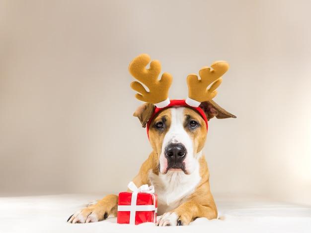 Perro joven del terrier de staffordshire en sombrero de los cuernos del reno de la navidad con el pequeño presente rojo lindo. divertidas poses de cachorro pitbull