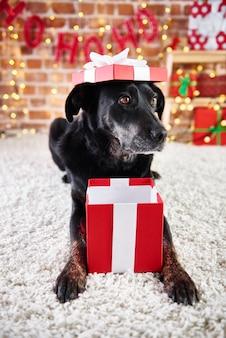 Perro juguetón abriendo un regalo de navidad