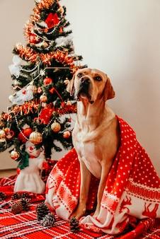 Perro labrador cubierto con una manta roja sentado con decoraciones en casa