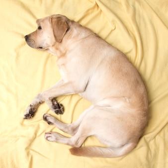 Perro labrador durmiendo en una tela escocesa amarilla, vista desde arriba.