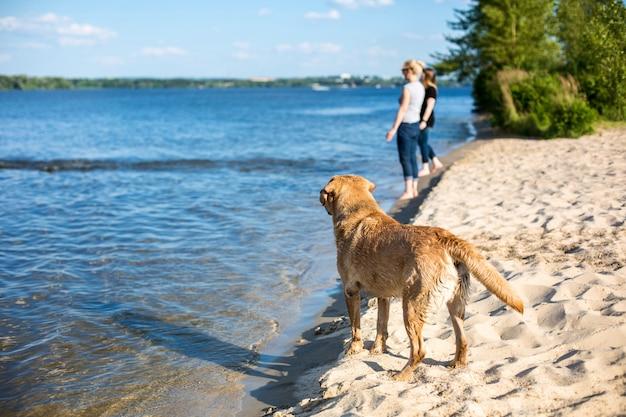Perro labrador retriever en la playa. llamarada del sol, destello solar