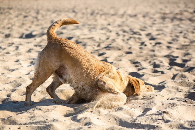 Perro labrador retriever en la playa. perro en la arena cerca del río. perro perdiguero de pelo rojo tirado en la arena