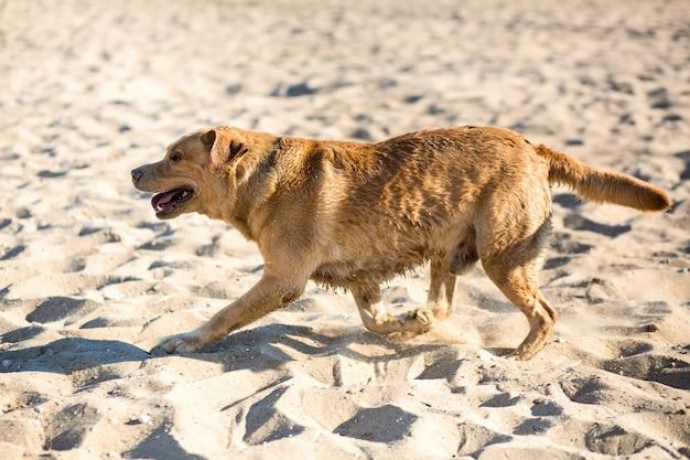 Perro labrador retriever en la playa. perro feliz corre en la arena cerca del río