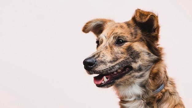 Perro con lengua fuera copia espacio mirando a otro lado