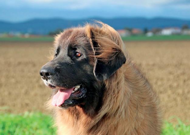 Perro leonberger típico
