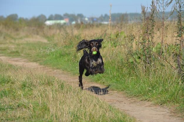 Un perro libre de la raza spaniel ruso corre con una pelota.