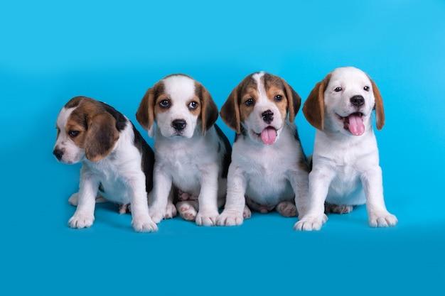 Perro, lindo del grupo de cachorros beagle sentado y jadeando