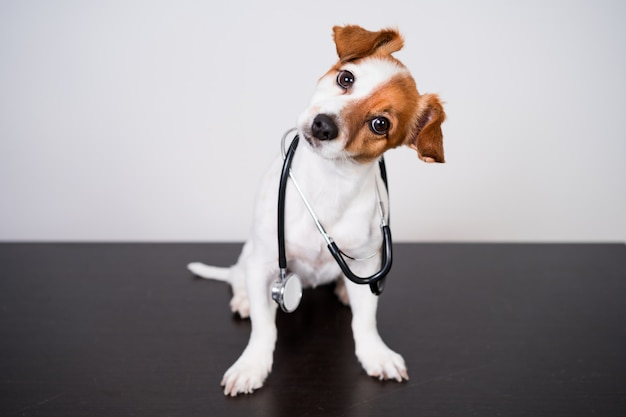 Perro lindo de jack russell en la clínica veterinaria.