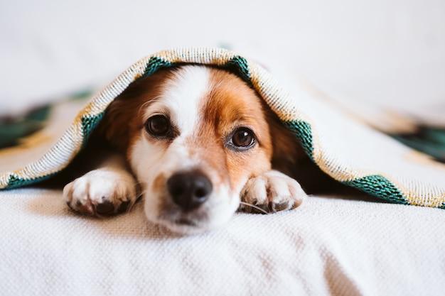Perro lindo de jack russell cubierto con la manta étnica que se sienta en el sofá en casa. estilo de vida en interiores