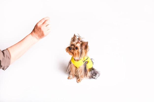 Un perro lindo que mira la mano de la persona aislada en el fondo blanco