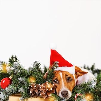 Perro lindo con el sombrero de santa cerca de la ramificación del árbol de navidad.
