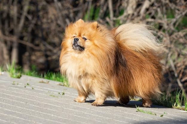 Perro lindo spitz en la naturaleza